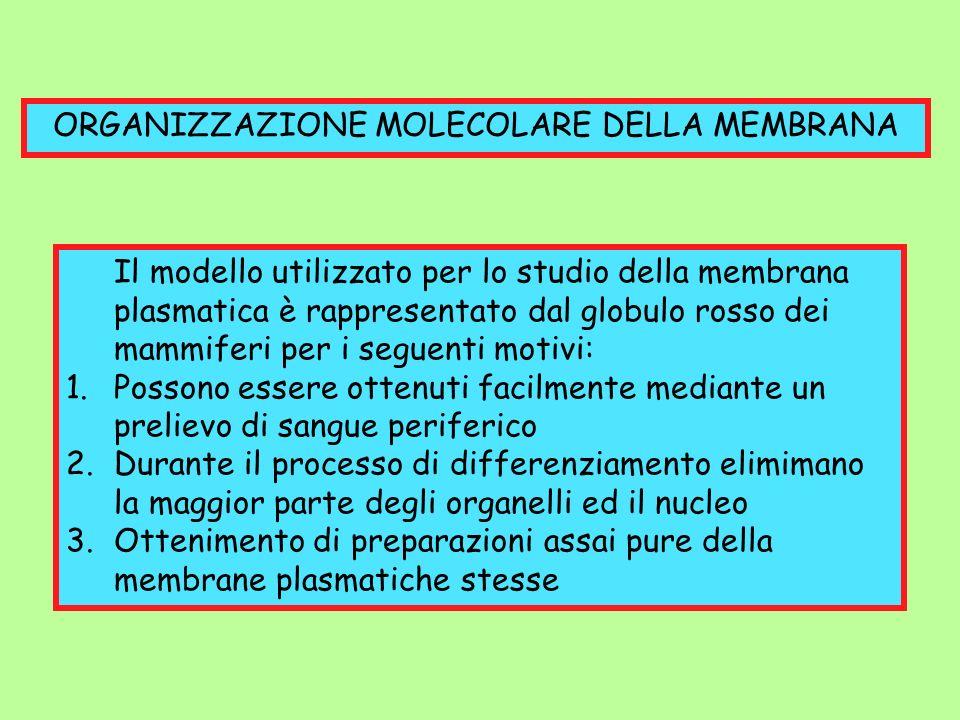 ORGANIZZAZIONE MOLECOLARE DELLA MEMBRANA Il modello utilizzato per lo studio della membrana plasmatica è rappresentato dal globulo rosso dei mammiferi