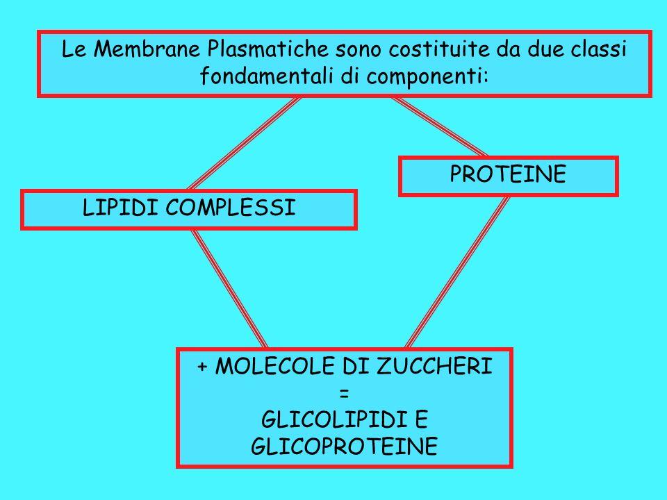 Le Membrane Plasmatiche sono costituite da due classi fondamentali di componenti: LIPIDI COMPLESSI PROTEINE + MOLECOLE DI ZUCCHERI = GLICOLIPIDI E GLI