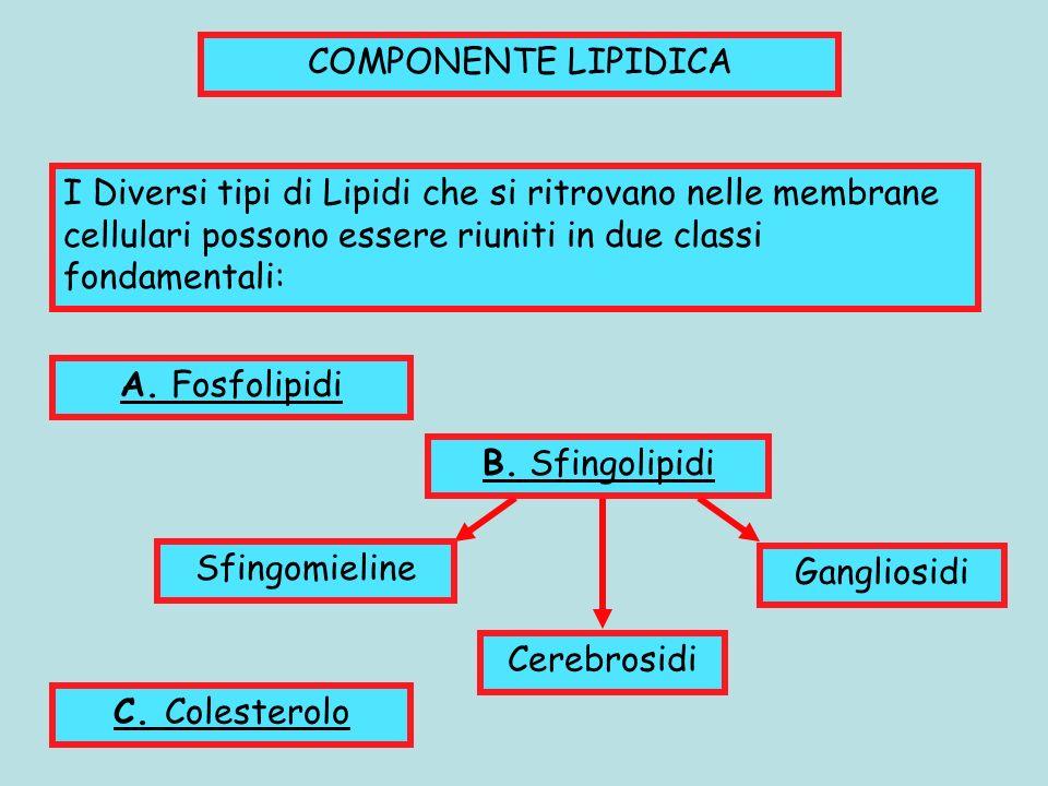 COMPONENTE LIPIDICA I Diversi tipi di Lipidi che si ritrovano nelle membrane cellulari possono essere riuniti in due classi fondamentali: A. Fosfolipi