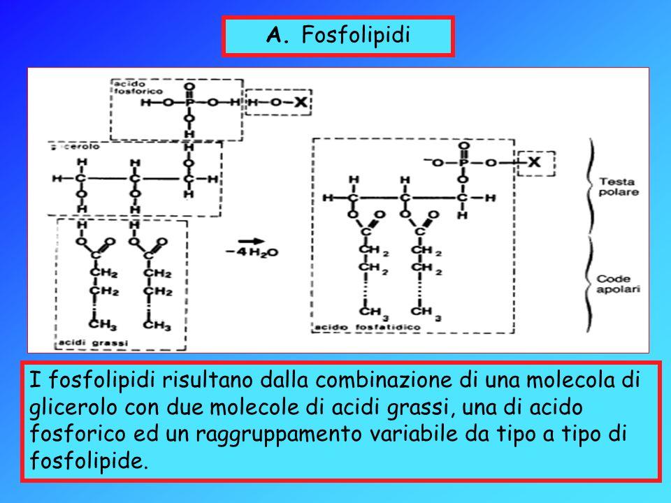 A. Fosfolipidi I fosfolipidi risultano dalla combinazione di una molecola di glicerolo con due molecole di acidi grassi, una di acido fosforico ed un
