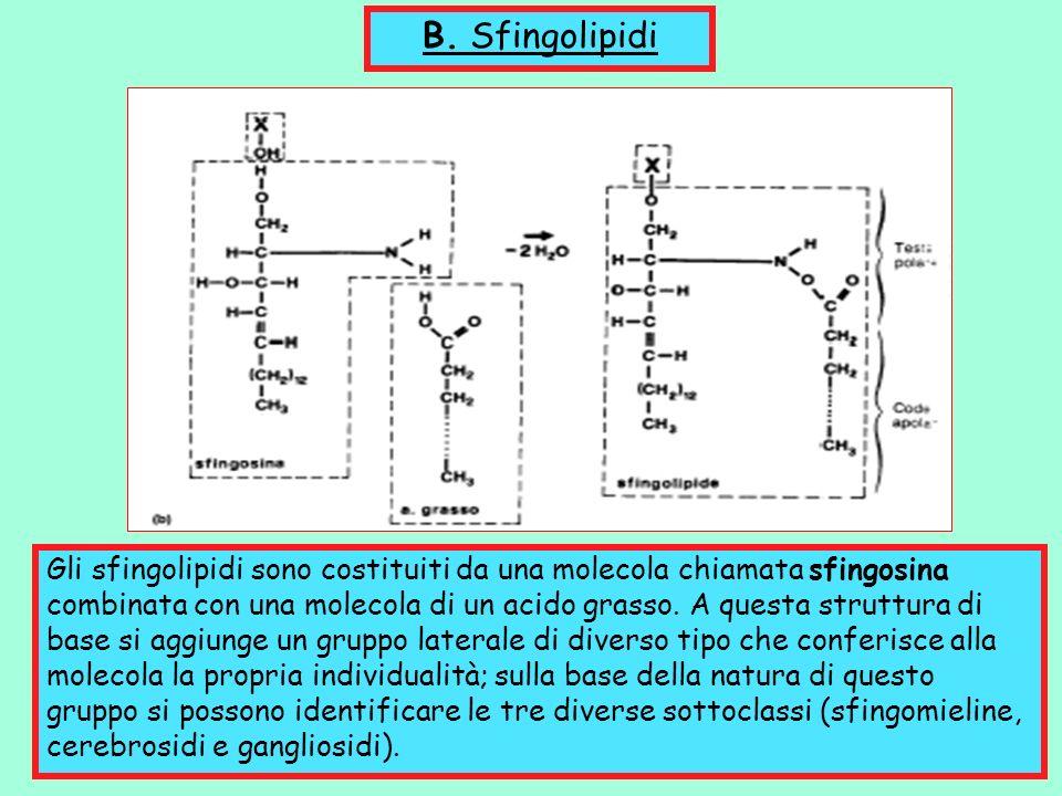 B. Sfingolipidi Gli sfingolipidi sono costituiti da una molecola chiamata sfingosina combinata con una molecola di un acido grasso. A questa struttura