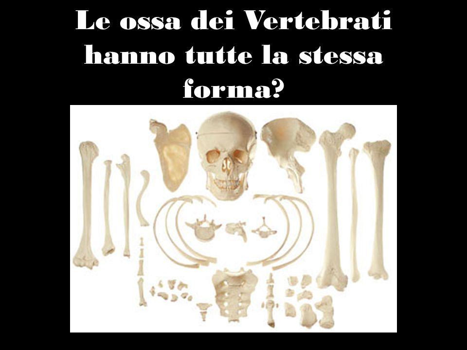 CINTI Elementi scheletrici attraverso cui gli arti sono connessi alla colonna vertebrale: - Cinto scapolare per gli arti superiori (scapola e clavicola): collegato alla colonna vertebrale da robusti fasci muscolari.