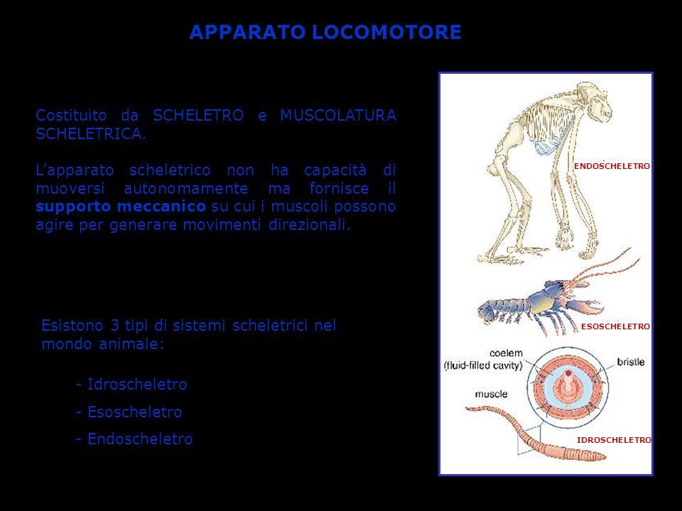 IDROSCHELETRO Tipo di scheletro più semplice presente in molti invertebrati privi di esoscheletro (es.