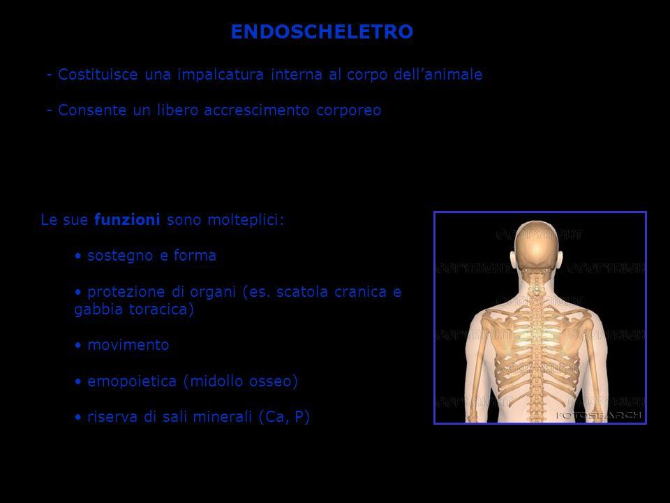 COLONNA VERTEBRALE E costituita dalla sovrapposizione di 33-34 vertebre, di cui: 7 cervicali 12 toraciche 5 lombari 5 sacrali (fuse insieme) 4-5 coccigee (fuse insieme) Funzione: protezione del midollo spinale e sostegno del tronco ANATOMIA DELLAPPARATO SCHELETRICO UMANO