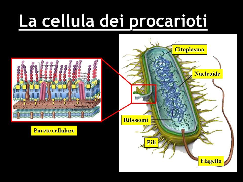 La cellula dei procarioti Citoplasma Nucleoide Flagello Pili Ribosomi Parete cellulare