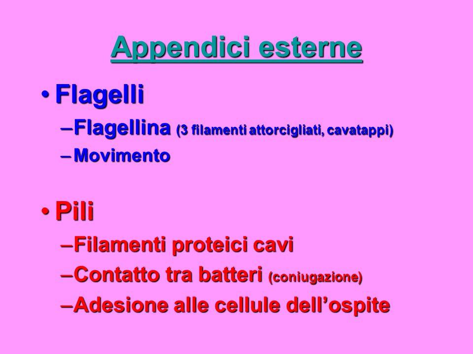 Appendici esterne FlagelliFlagelli –Flagellina (3 filamenti attorcigliati, cavatappi) –Movimento PiliPili –Filamenti proteici cavi –Contatto tra batte