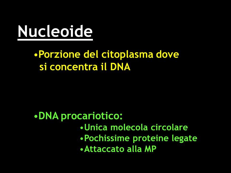 Nucleoide Porzione del citoplasma dovePorzione del citoplasma dove si concentra il DNA si concentra il DNA DNA procariotico:DNA procariotico: Unica mo