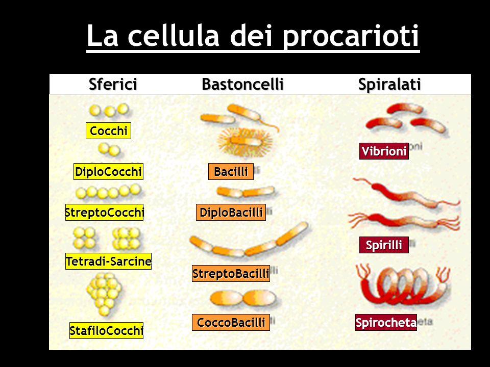 La cellula dei procarioti Cocchi DiploCocchi StreptoCocchi Tetradi-Sarcine StafiloCocchi Bacilli DiploBacilli StreptoBacilli CoccoBacilli Vibrioni Spi
