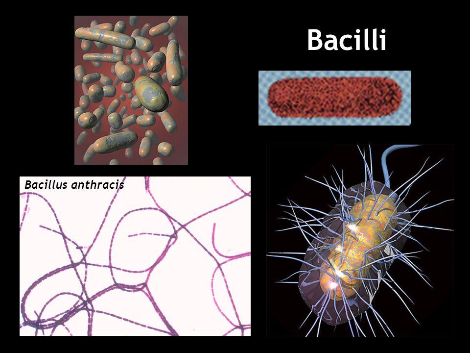 Bacilli Bacillus anthracis