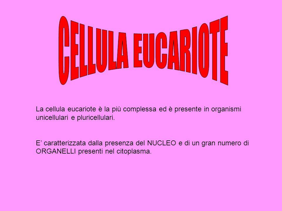 La cellula eucariote è la più complessa ed è presente in organismi unicellulari e pluricellulari. E caratterizzata dalla presenza del NUCLEO e di un g