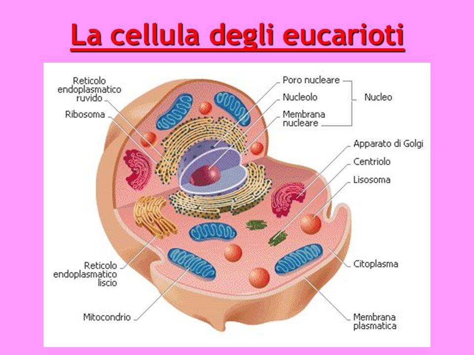 La cellula degli eucarioti