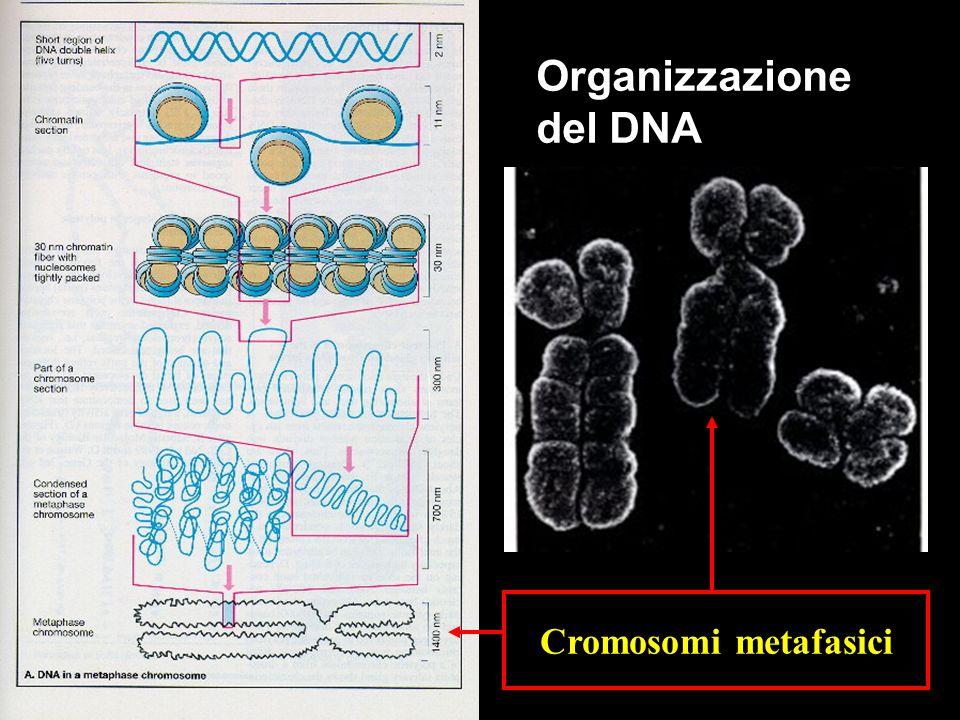 Organizzazione del DNA Cromosomi metafasici