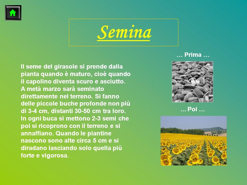 Il seme del girasole si prende dalla pianta quando è maturo, cioè quando il capolino diventa scuro e asciutto. A metà marzo sarà seminato direttamente