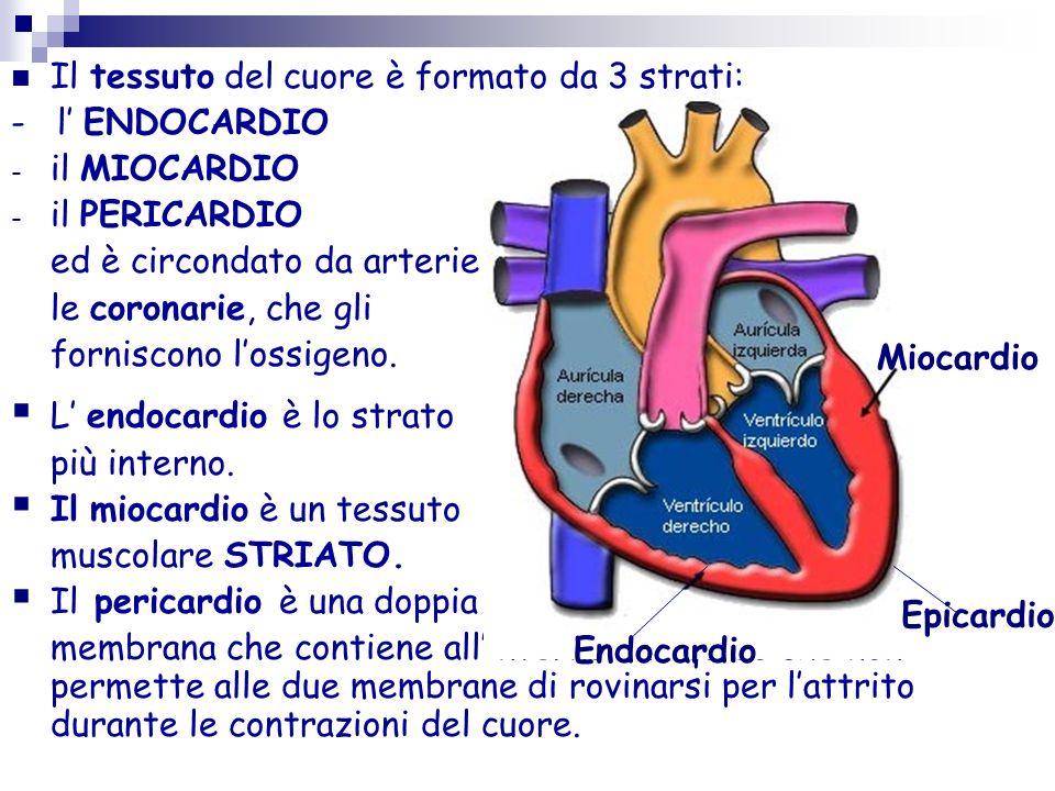 Il cuore è l'organo centrale del sistema circolatorio: è un muscolo involontario cavo. Funge da pompa, capace di produrre una pressione sufficiente pe