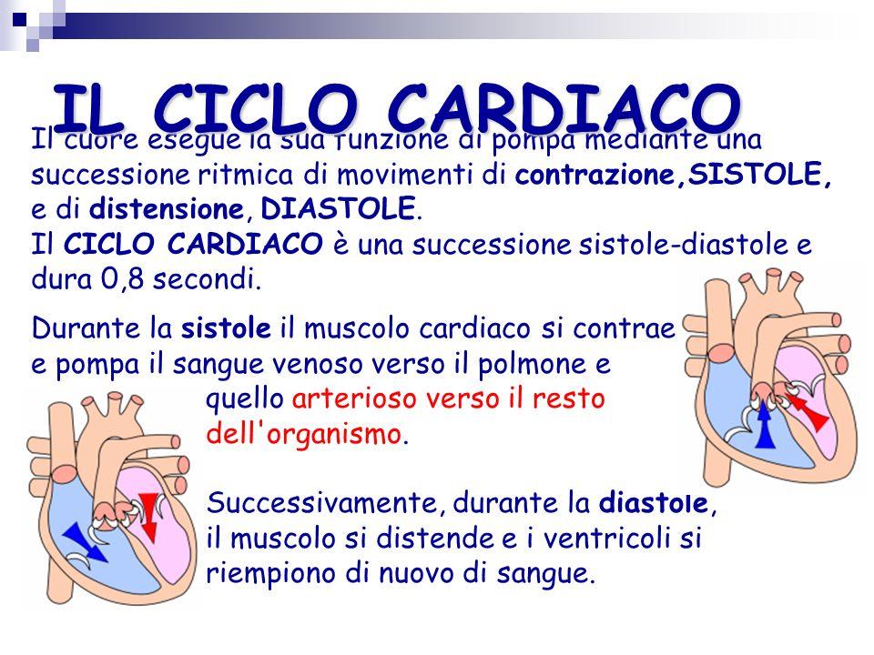 Setto ventricolare STRUTTURA DEL CUORE Verticalmente è diviso in cuore sinistro e destro da una parete muscolare, il setto ventricolare, in modo tale