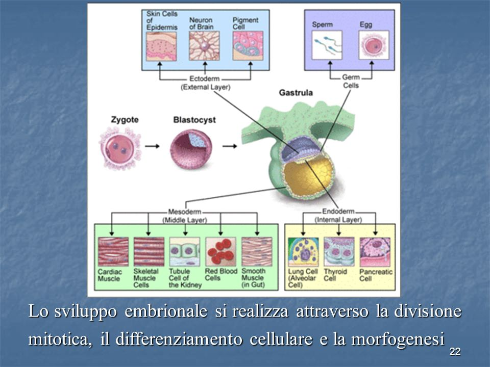22 Lo sviluppo embrionale si realizza attraverso la divisione mitotica, il differenziamento cellulare e la morfogenesi