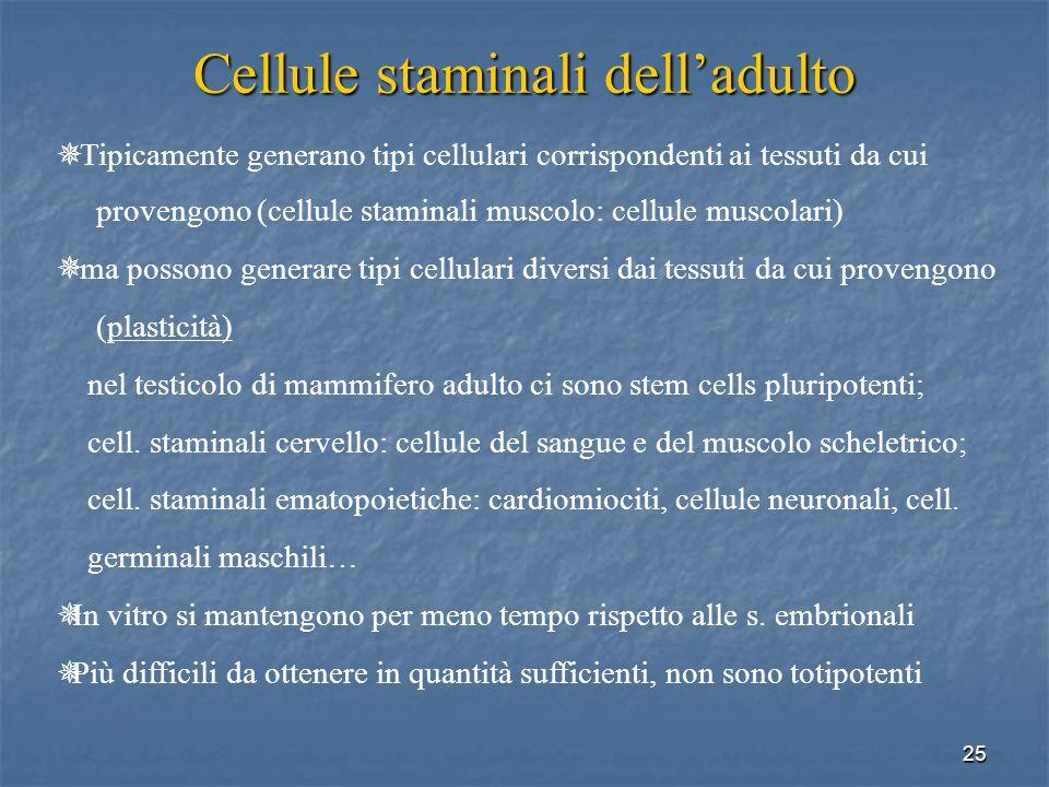 25 Cellule staminali delladulto Tipicamente generano tipi cellulari corrispondenti ai tessuti da cui provengono (cellule staminali muscolo: cellule mu