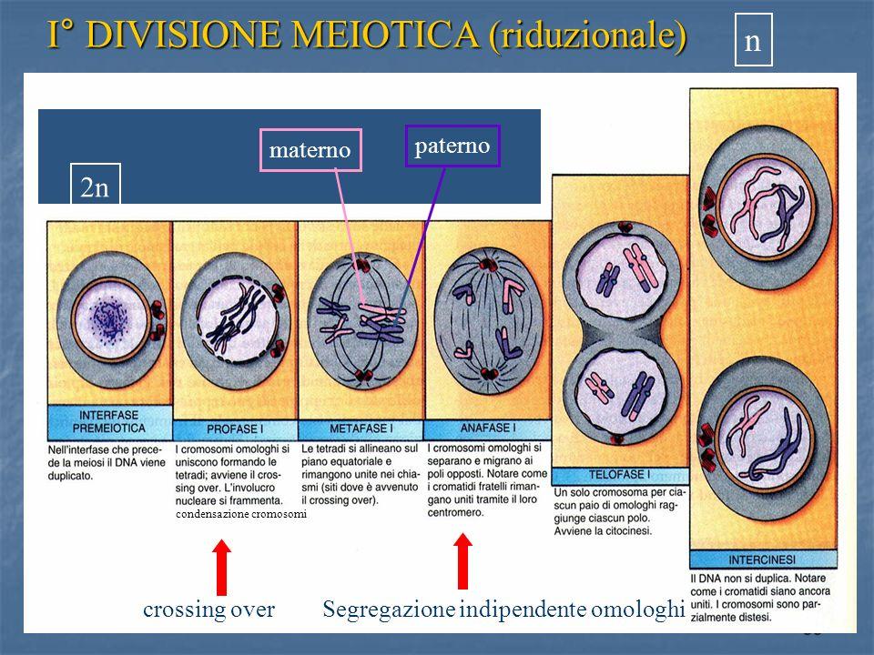 35 I° DIVISIONE MEIOTICA (riduzionale) crossing overSegregazione indipendente omologhi n 2n materno paterno condensazione cromosomi