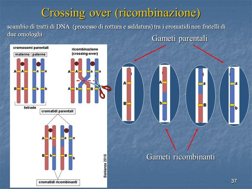 37 Gameti parentali Gameti ricombinanti Crossing over (ricombinazione) scambio di tratti di DNA (processo di rottura e saldatura) tra i cromatidi non