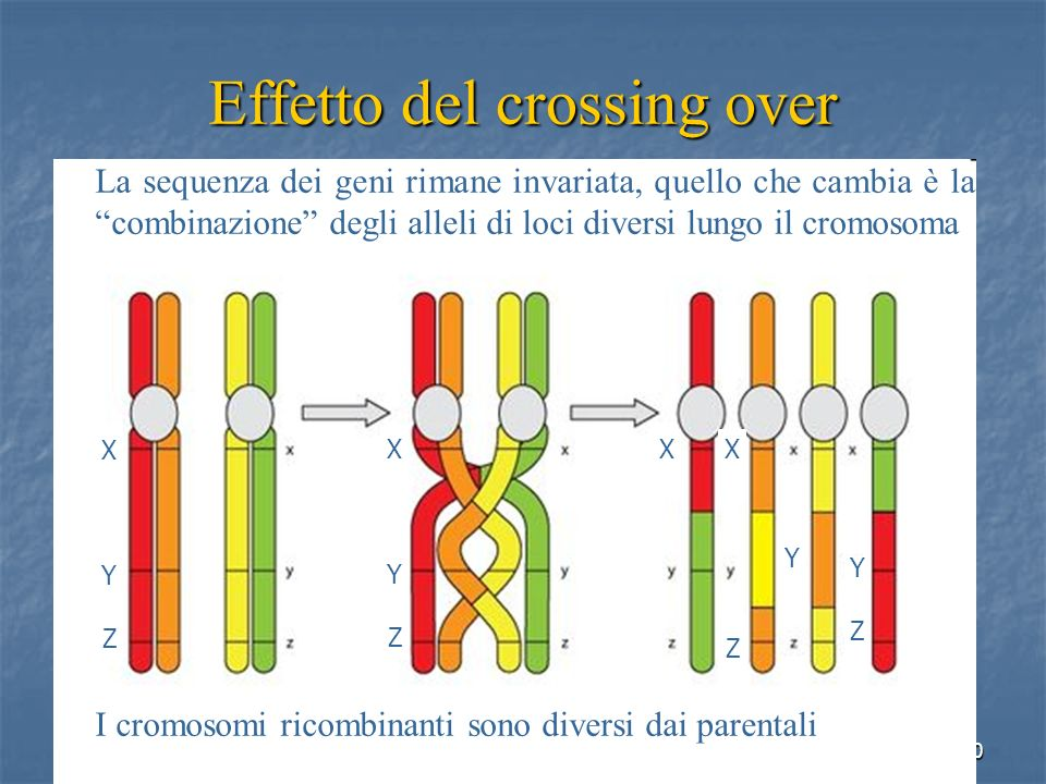 40 Effetto del crossing over XYZXYZ X Y YZYZ Z La sequenza dei geni rimane invariata, quello che cambia è la combinazione degli alleli di loci diversi
