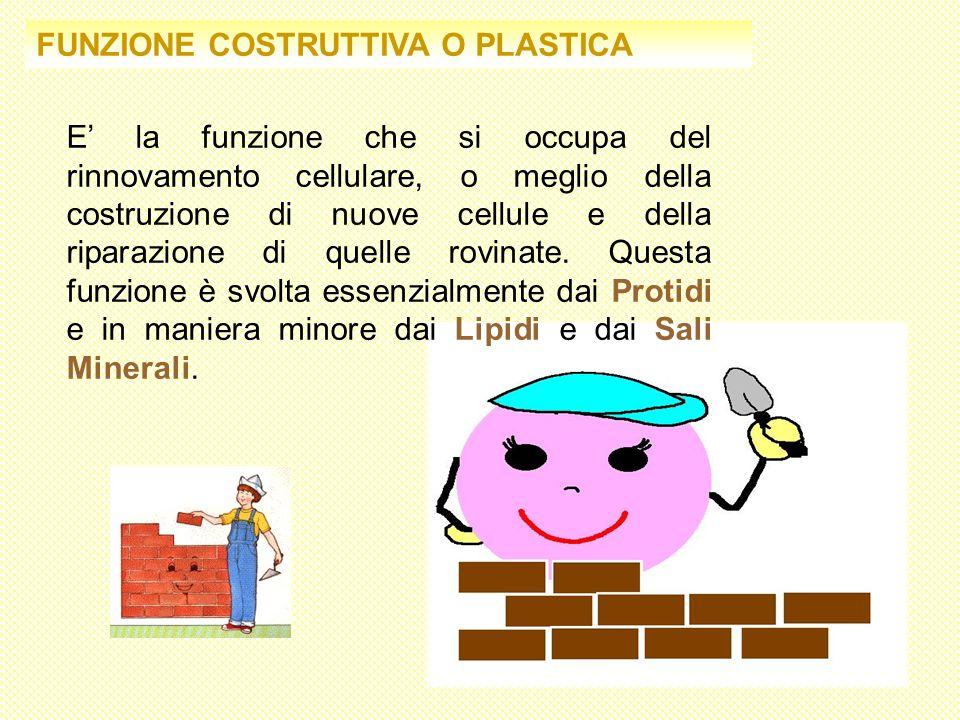 FUNZIONE COSTRUTTIVA O PLASTICA E la funzione che si occupa del rinnovamento cellulare, o meglio della costruzione di nuove cellule e della riparazion