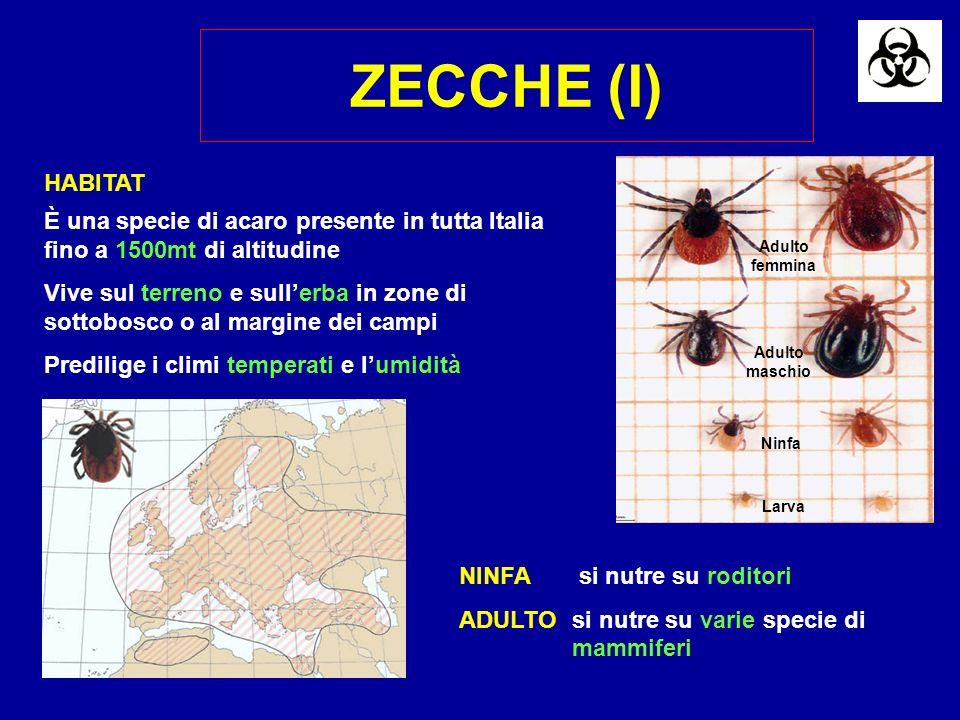 ZECCHE (I) Larva Adulto maschio Adulto femmina Ninfa NINFA si nutre su roditori ADULTOsi nutre su varie specie di mammiferi È una specie di acaro pres
