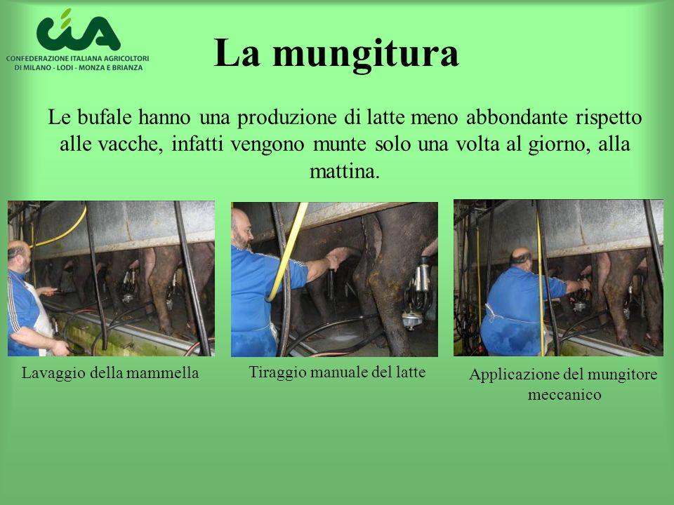 La mungitura Le bufale hanno una produzione di latte meno abbondante rispetto alle vacche, infatti vengono munte solo una volta al giorno, alla mattin