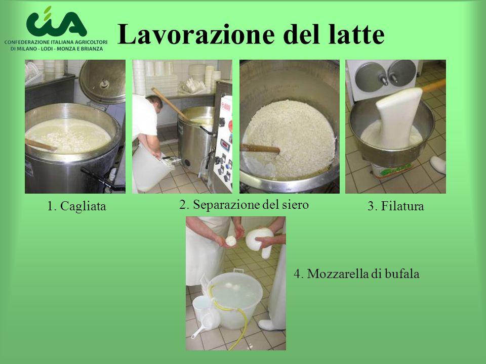 Lavorazione del latte 1. Cagliata 2. Separazione del siero 3. Filatura 4. Mozzarella di bufala