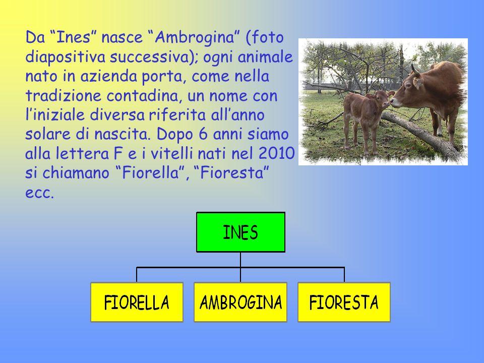 Da Ines nasce Ambrogina (foto diapositiva successiva); ogni animale nato in azienda porta, come nella tradizione contadina, un nome con liniziale dive