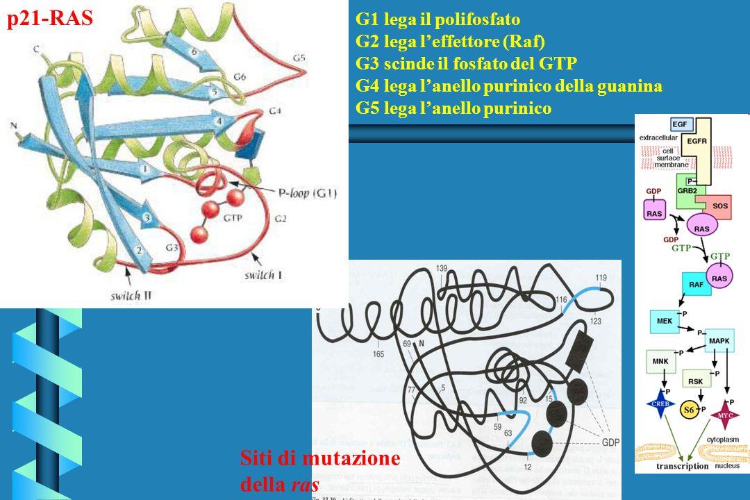 Siti di mutazione della ras G1 lega il polifosfato G2 lega leffettore (Raf) G3 scinde il fosfato del GTP G4 lega lanello purinico della guanina G5 leg