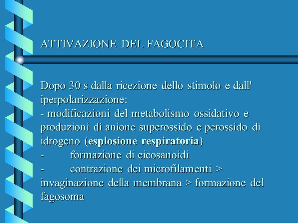 ATTIVAZIONE DEL FAGOCITA Dopo 30 s dalla ricezione dello stimolo e dall' iperpolarizzazione: - modificazioni del metabolismo ossidativo e produzioni d