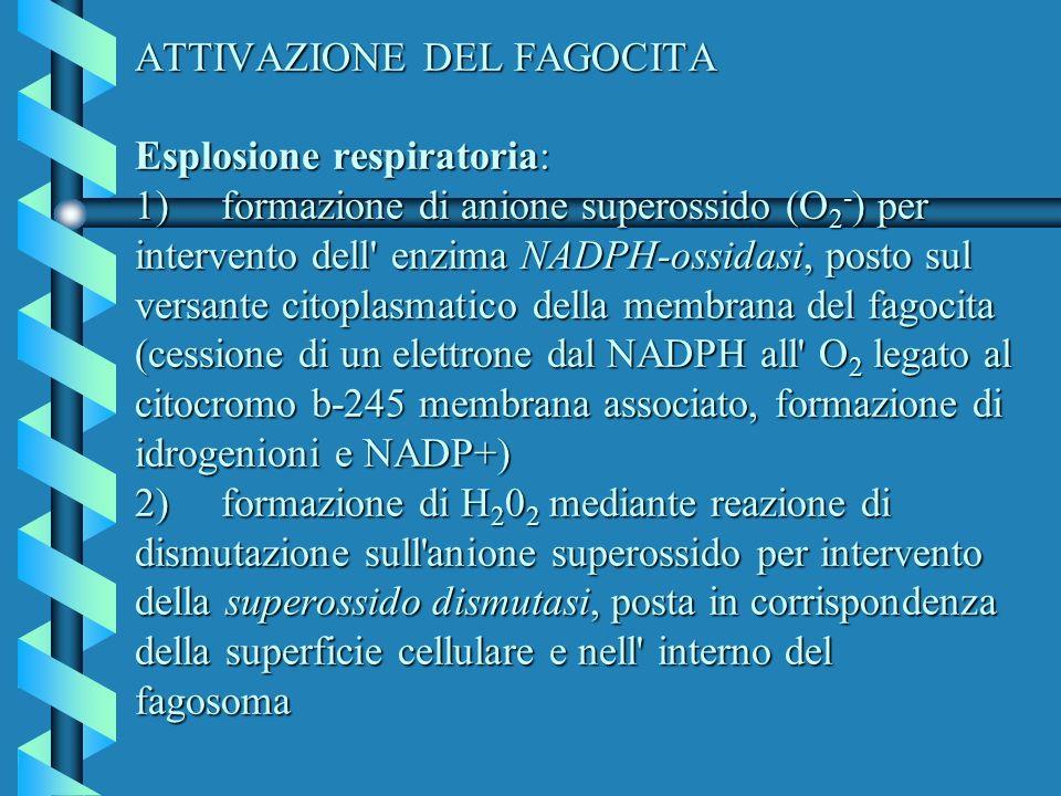 ATTIVAZIONE DEL FAGOCITA Esplosione respiratoria: 1) formazione di anione superossido (O 2 - ) per intervento dell' enzima NADPH-ossidasi, posto sul v
