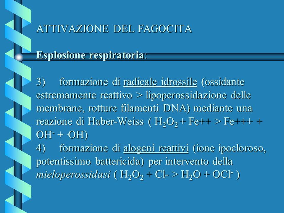 ATTIVAZIONE DEL FAGOCITA Esplosione respiratoria: 3) formazione di radicale idrossile (ossidante estremamente reattivo > lipoperossidazione delle memb