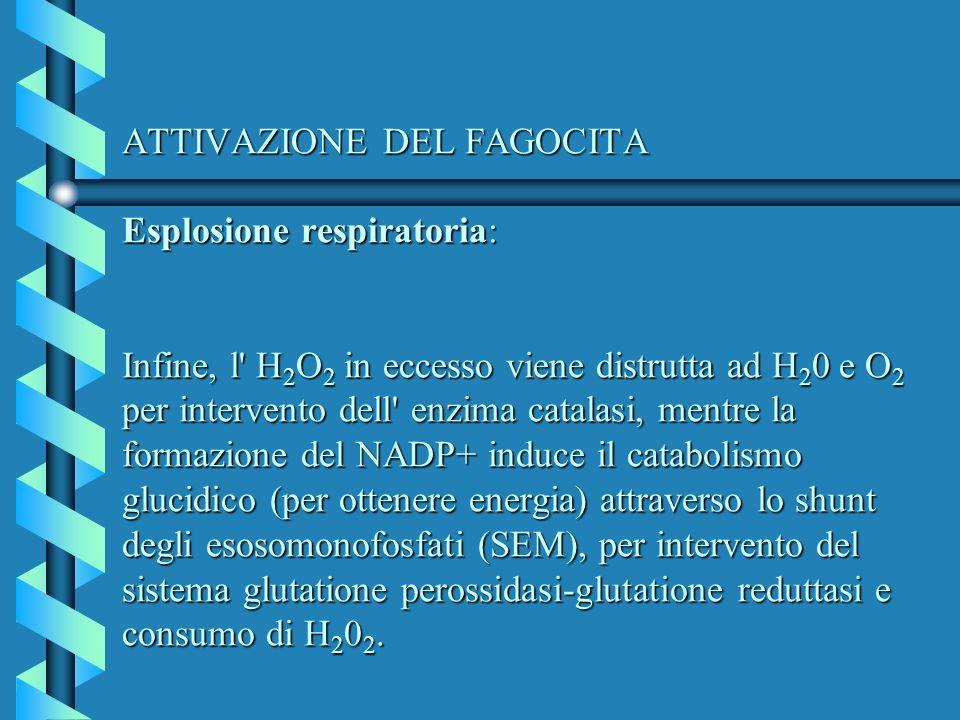 ATTIVAZIONE DEL FAGOCITA Esplosione respiratoria: Infine, l' H 2 O 2 in eccesso viene distrutta ad H 2 0 e O 2 per intervento dell' enzima catalasi, m