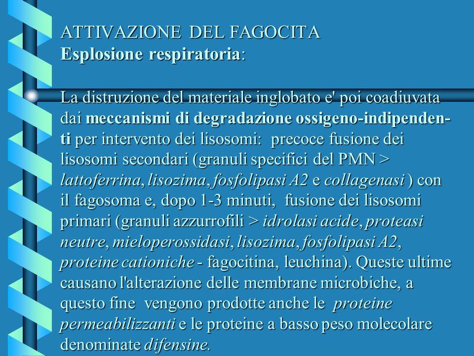 ATTIVAZIONE DEL FAGOCITA Esplosione respiratoria: La distruzione del materiale inglobato e' poi coadiuvata dai meccanismi di degradazione ossigeno-ind