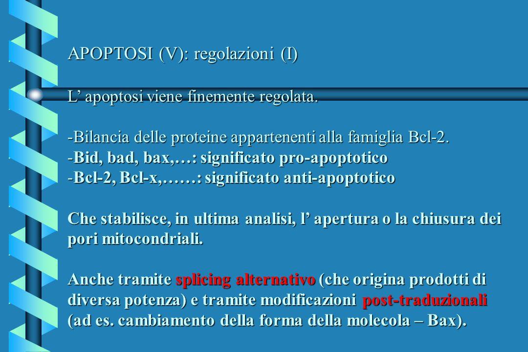 APOPTOSI (V): regolazioni (I) L apoptosi viene finemente regolata. -Bilancia delle proteine appartenenti alla famiglia Bcl-2. -Bid, bad, bax,…: signif