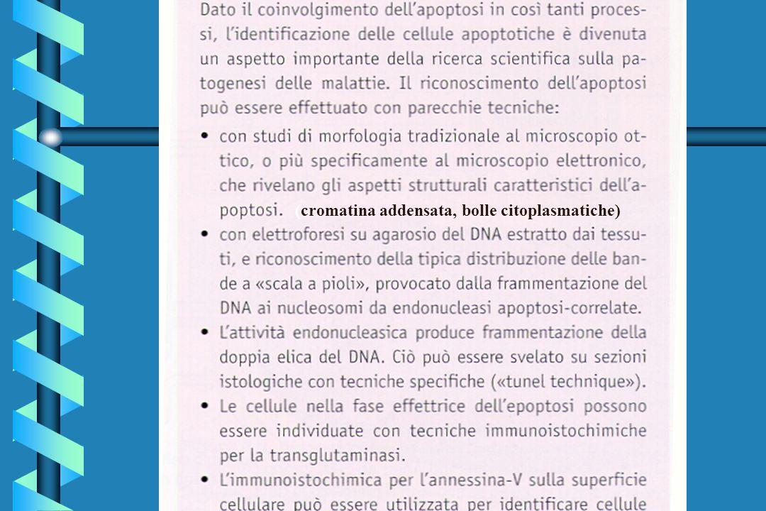 (cromatina addensata, bolle citoplasmatiche)