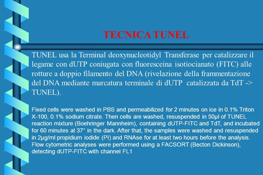 TECNICA TUNEL TUNEL usa la Terminal deoxynucleotidyl Transferase per catalizzare il legame con dUTP coniugata con fluoresceina isotiocianato (FITC) alle rotture a doppio filamento del DNA (rivelazione della frammentazione del DNA mediante marcatura terminale di dUTP catalizzata da TdT -> TUNEL).
