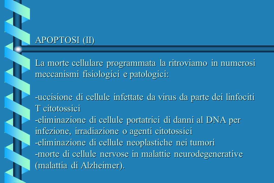 APOPTOSI (II) La morte cellulare programmata la ritroviamo in numerosi meccanismi fisiologici e patologici: -uccisione di cellule infettate da virus da parte dei linfociti T citotossici -eliminazione di cellule portatrici di danni al DNA per infezione, irradiazione o agenti citotossici -eliminazione di cellule neoplastiche nei tumori -morte di cellule nervose in malattie neurodegenerative (malattia di Alzheimer).