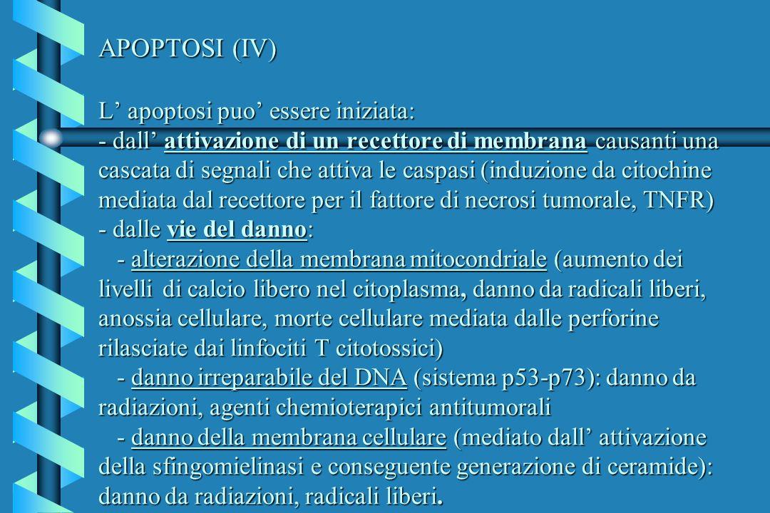 APOPTOSI (IV) L apoptosi puo essere iniziata: - dall attivazione di un recettore di membrana causanti una cascata di segnali che attiva le caspasi (in