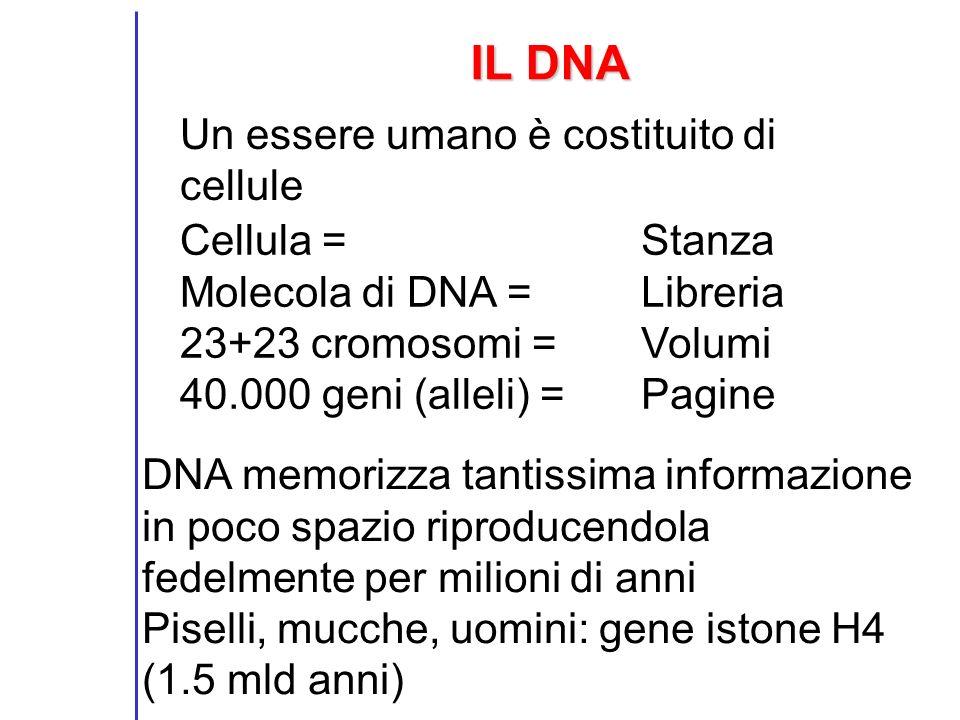 IL DNA Un essere umano è costituito di cellule Cellula = Molecola di DNA = 23+23 cromosomi = 40.000 geni (alleli) = Stanza Libreria Volumi Pagine DNA