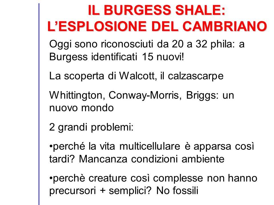 IL BURGESS SHALE: LESPLOSIONE DEL CAMBRIANO Oggi sono riconosciuti da 20 a 32 phila: a Burgess identificati 15 nuovi! La scoperta di Walcott, il calza