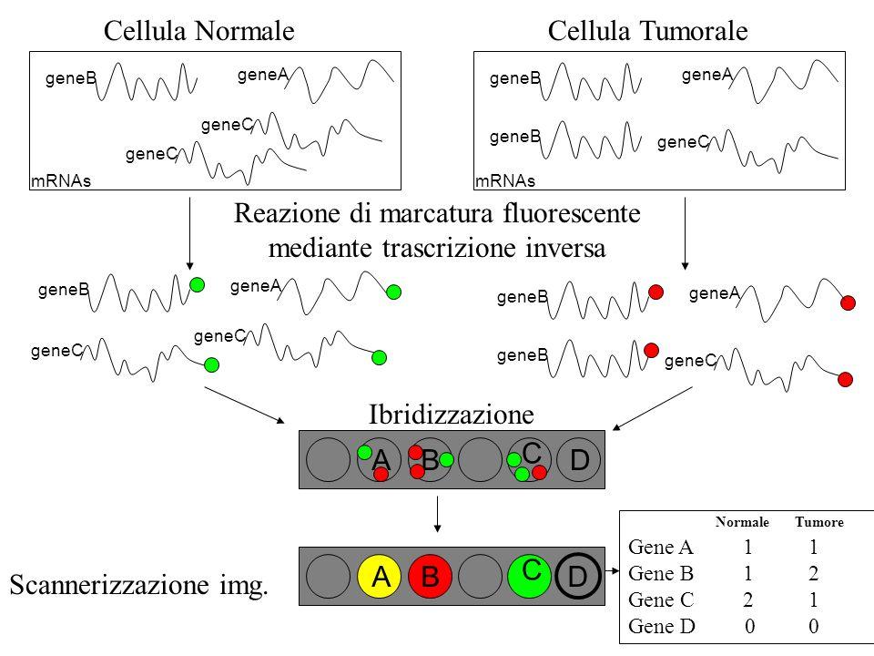 Ibridizzazione AB C D Cellula Normale geneA geneB geneC mRNAs geneC Cellula Tumorale geneA geneB mRNAs geneC geneB Reazione di marcatura fluorescente mediante trascrizione inversa geneA geneB geneC geneA geneB geneC geneB Normale Tumore Gene A 1 1 Gene B 1 2 Gene C 2 1 Gene D 0 0 AB C Scannerizzazione img.
