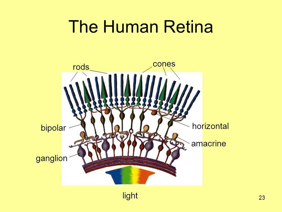 23 The Human Retina rods cones light bipolar ganglion horizontal amacrine