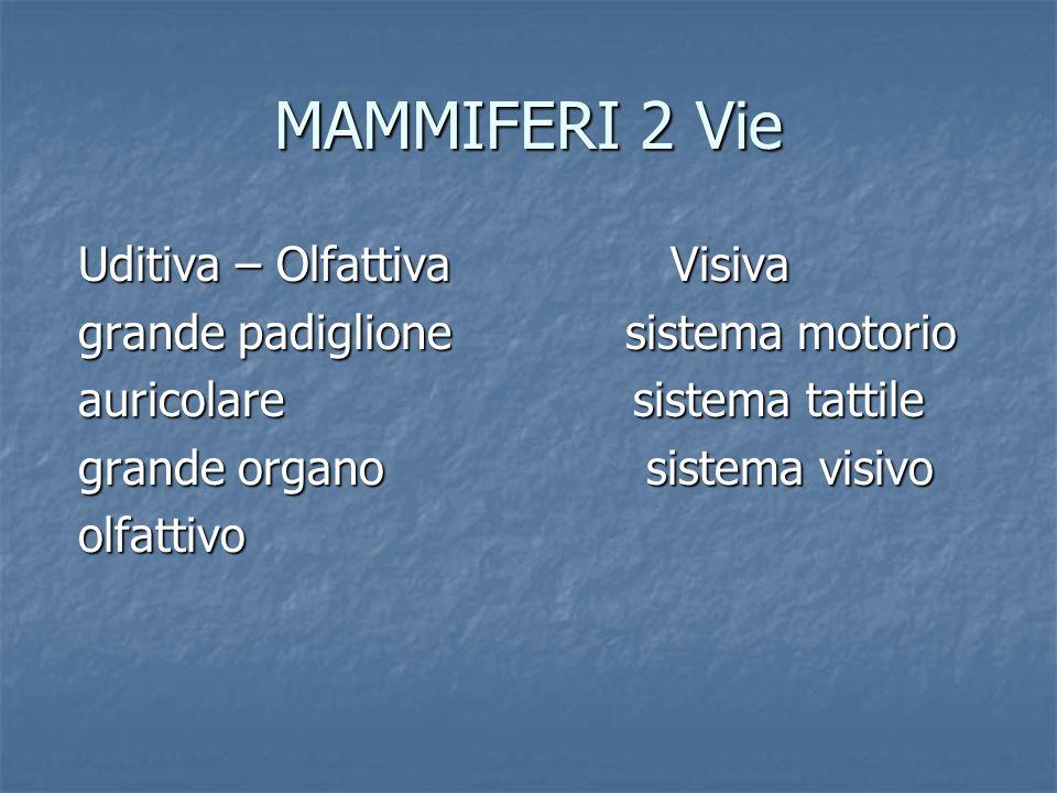 MAMMIFERI 2 Vie Uditiva – Olfattiva Visiva Uditiva – Olfattiva Visiva grande padiglione sistema motorio grande padiglione sistema motorio auricolare s