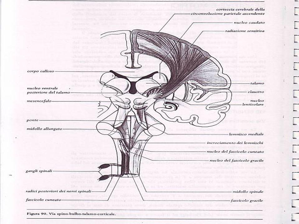 VIE SENSITIVE SPINO-TALAMO-CORTICALE Tattile protopatica,termica e dolorifica, del tronco e degli arti