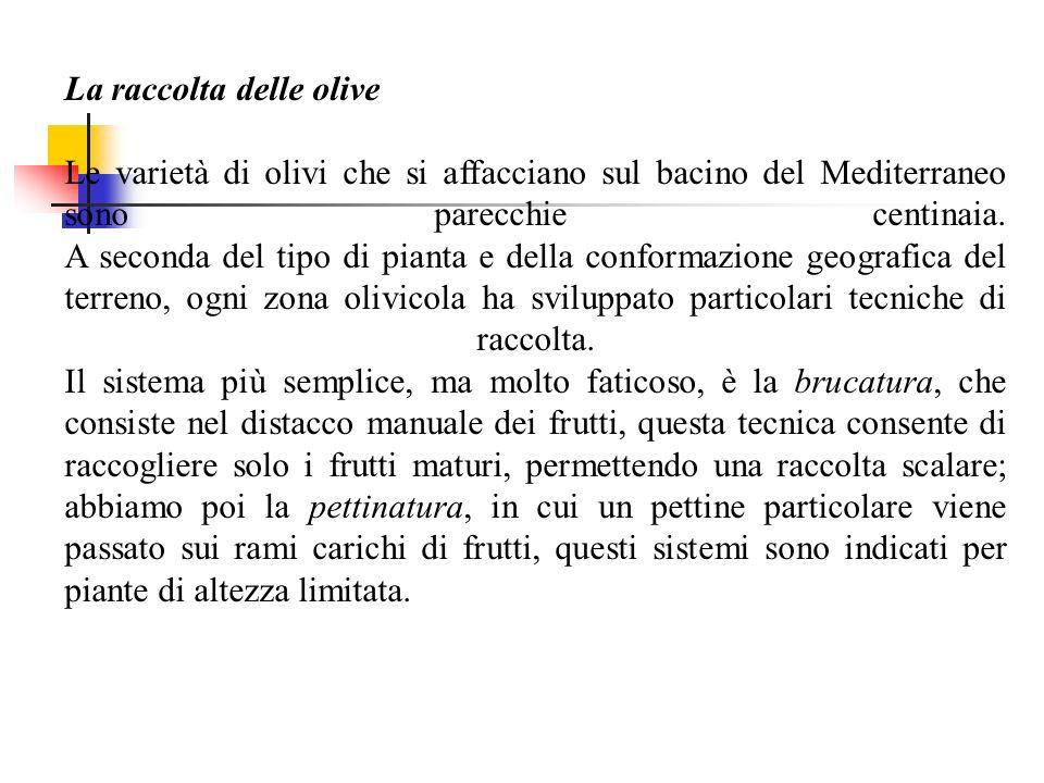 La raccolta delle olive Le varietà di olivi che si affacciano sul bacino del Mediterraneo sono parecchie centinaia. A seconda del tipo di pianta e del