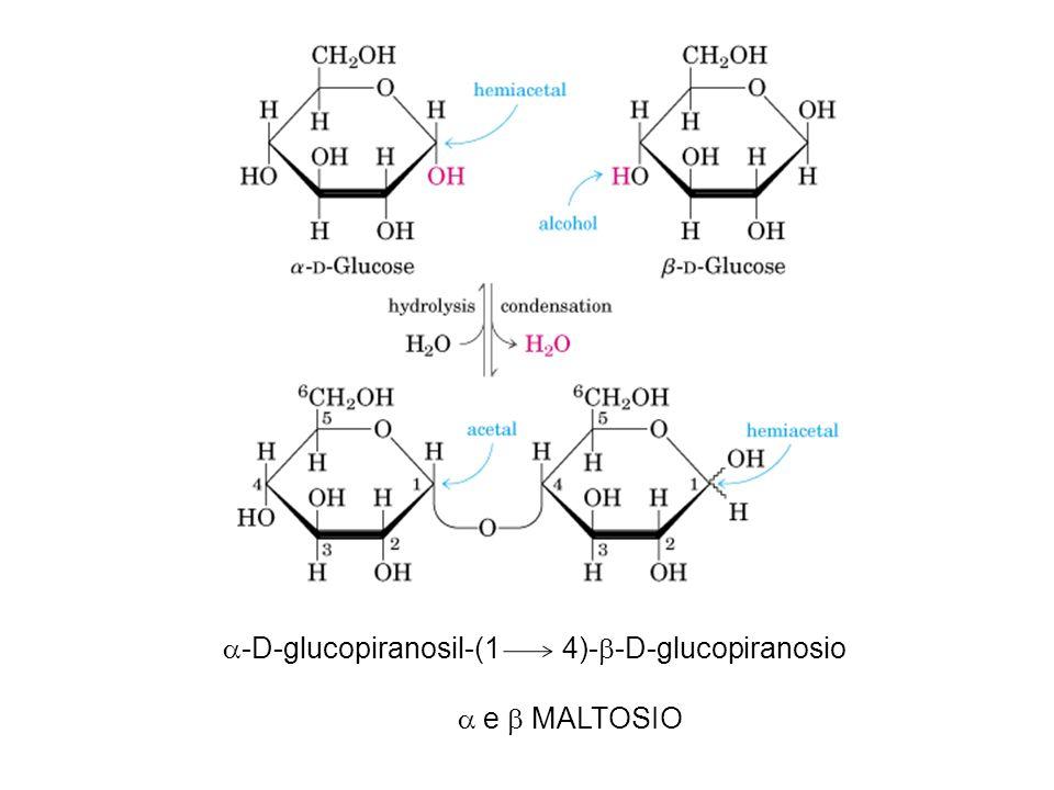 La presenza del legame beta 1-4, anziché alfa 1-6, e l assenza, nei mammiferi, di specifici enzimi per la degradazione del legame beta 1-4, rendono non assimilabile il glucosio proveniente dalla cellulosa.
