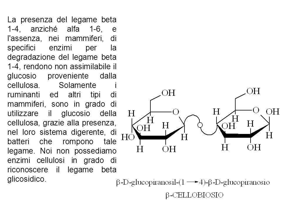 La presenza del legame beta 1-4, anziché alfa 1-6, e l'assenza, nei mammiferi, di specifici enzimi per la degradazione del legame beta 1-4, rendono no