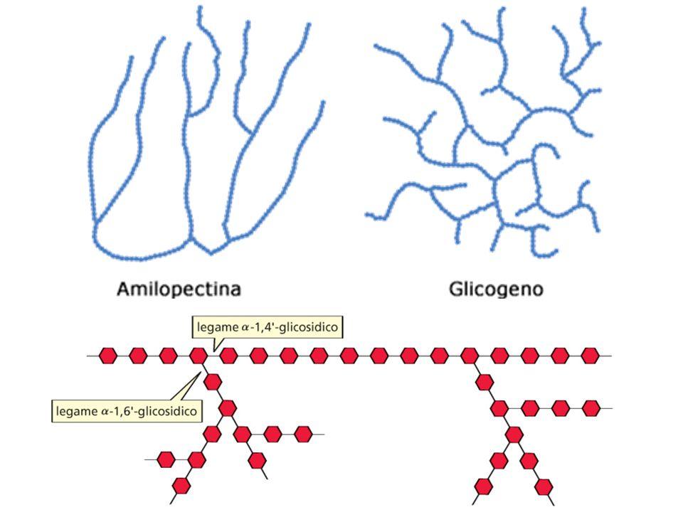GLICOGENO Il glicogeno è simile allamilopectina è tenuto insieme principalmente da legami (1 4) con maggiori ramificazioni (1 6) Glucosi fino a 50.000 e ramificazioni fino a 10 residui e più fitti Questa struttura permette una rapida mobilizzazione del glucosio conservato in deposito come glicogeno.